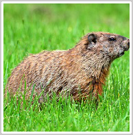 Wheatland groundhog removal
